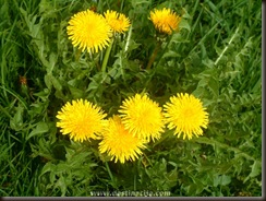 Cvijet_Maslacak