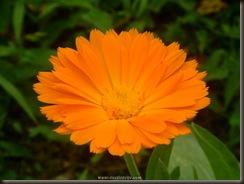 Cvijet_Neven