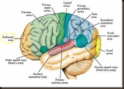 human-brain-various-areas